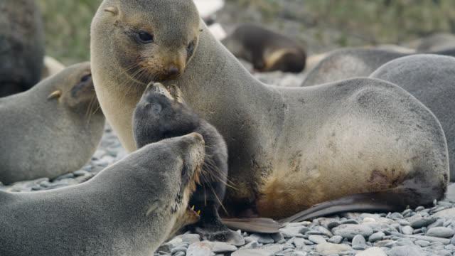 vidéos et rushes de antarctic fur seal with pup on beach, south georgia - otarie à fourrure
