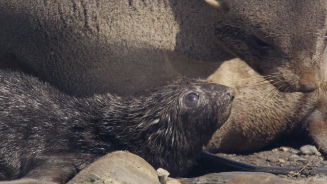 antarctic fur seal with pup on beach, south georgia - seal pup stock videos and b-roll footage