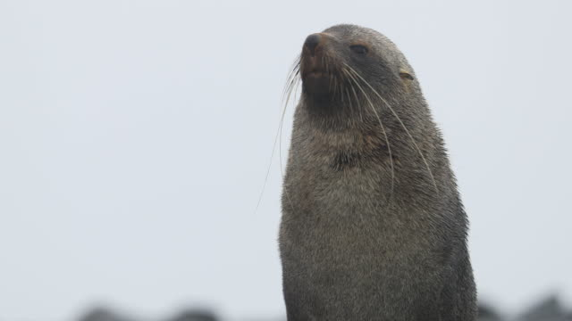 vídeos y material grabado en eventos de stock de antarctic fur seal with very long whiskers looking around - foca