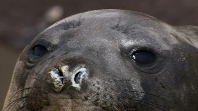 stockvideo's en b-roll-footage met ecu, antarctic fur seal yawning, antarctica - atlantische eilanden