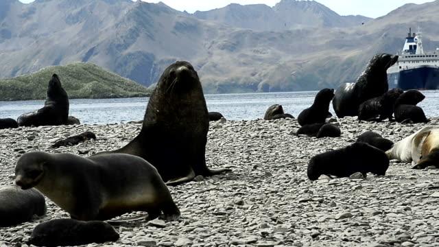 vídeos y material grabado en eventos de stock de antárticos y pingüinos en la playa del rey - foca peluda