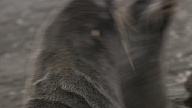 vídeos y material grabado en eventos de stock de cu, antarctic fur seals fighting, headshot, antarctica - foca peluda