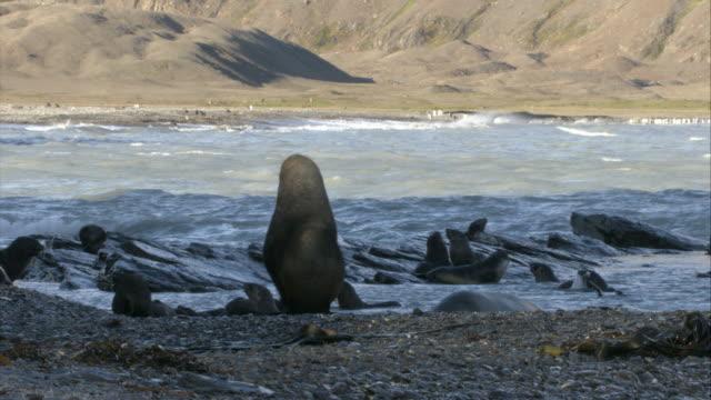 stockvideo's en b-roll-footage met ms, antarctic fur seals on beach, antarctica - atlantische eilanden