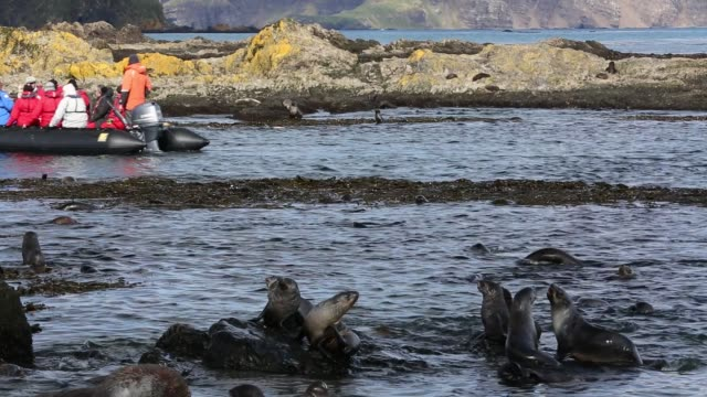 antarctic fur seals (arctocephalus gazella) pups and female playing in the shallows on prion island, south georgia, southern ocean. - south georgia island stock videos & royalty-free footage