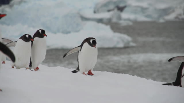 antarctic penguin waddling about - waddling stock videos & royalty-free footage