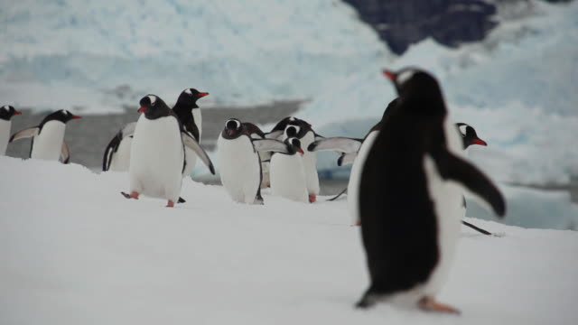 antarctic penguins waddling about - waddling stock videos & royalty-free footage