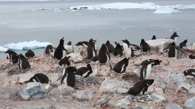 Antarctic peninsula, Cuverville Island, a loudy colony of Gentoo Penguins