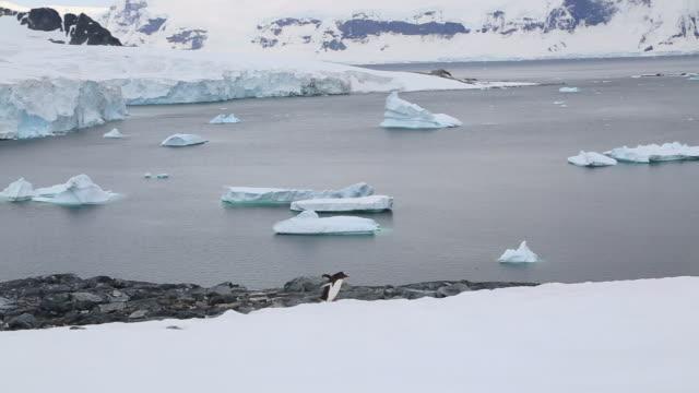 antarctic peninsula, cuverville island, gentoo penguin crossing, a panorama, with icebergs and m/v sea spirit - 陸地点の映像素材/bロール