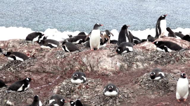 Antarctic Peninsula Gentoo penguin nesting colony rookery Neko Harbour Danco Coast Antarctica
