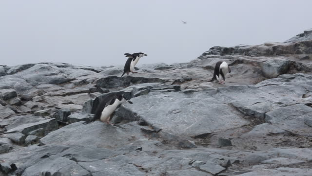 antarctic peninsula, gerlache strait, hydrurga rocks- chinstrap penguins walking on the rocks in the rain - mittelgroße tiergruppe stock-videos und b-roll-filmmaterial