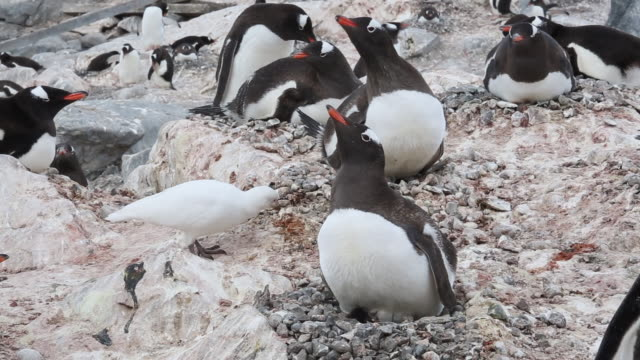 Antarctic peninsula, Gonzales Videla Chilean Research station – Gentoo penguins nesting and a Sheatbill