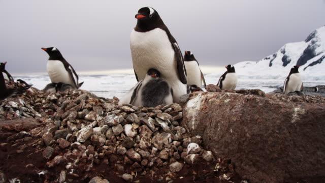 Antarctica, Family of Penguins