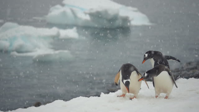 antarctica gentoo penguins in snowfall - gentoo penguin stock videos and b-roll footage