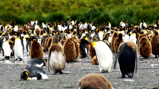 antarktis king-size-bett south georgia polarkreises penguins - antarktis stock-videos und b-roll-filmmaterial