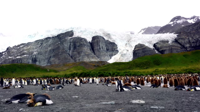 antarctica king penguins south georgia polar circle - south pole stock videos and b-roll footage