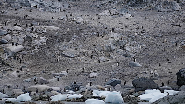 Antarctica penguins with boulders on shore