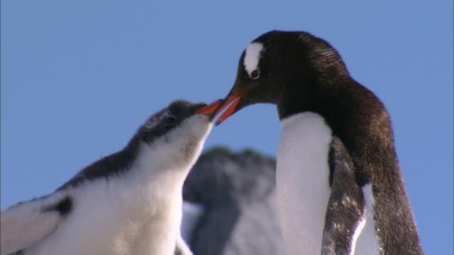CU, Antarctica, Port Lockroy, Gentoo Penguin feeding chicks