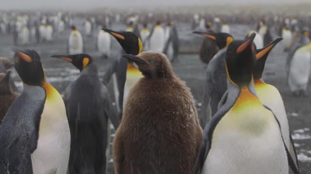 vídeos y material grabado en eventos de stock de antarctica/south georgia - pingüino cara blanca