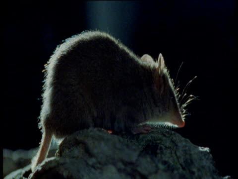 antechinus on rock, australia - mouse animal stock videos & royalty-free footage