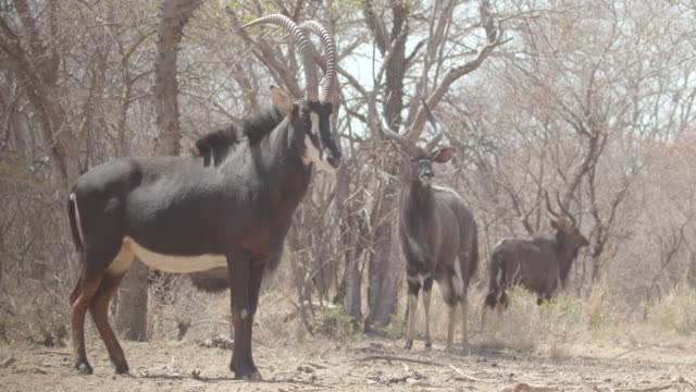 antelope / africa - 草食性点の映像素材/bロール