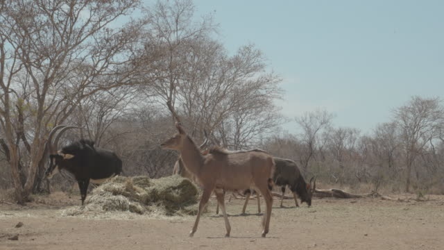 vidéos et rushes de antelope / africa - plaque de montage fixe
