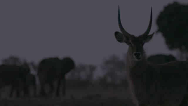 stockvideo's en b-roll-footage met antelope / africa - plate met stilstaande achtergrond