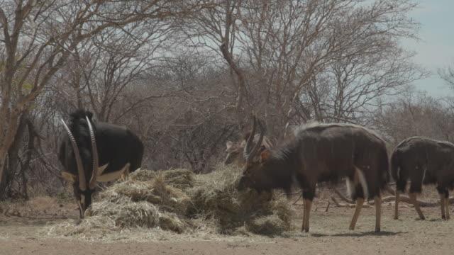 antelope / africa - herbivorous stock videos & royalty-free footage