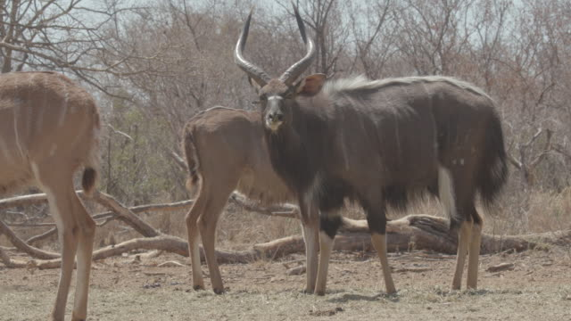 antelope / africa - pflanzenfressend stock-videos und b-roll-filmmaterial