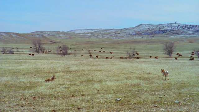 antelope and herd of american bison in field at custer state park / custer, south dakota - custer state park stock videos & royalty-free footage
