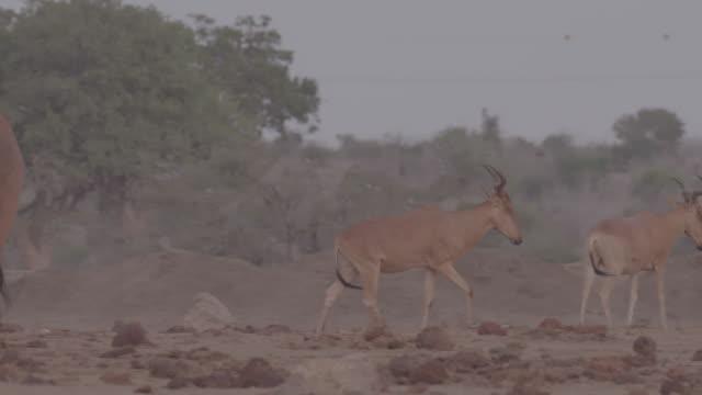 antelope and herd of elephants / africa - herbivorous stock videos & royalty-free footage