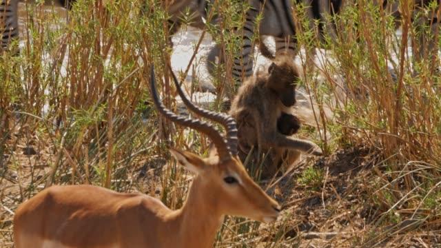 antelope pavillon mit baby und zebras - krüger nationalpark stock-videos und b-roll-filmmaterial