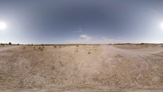 360/VR Antelope Grazing In Botswana