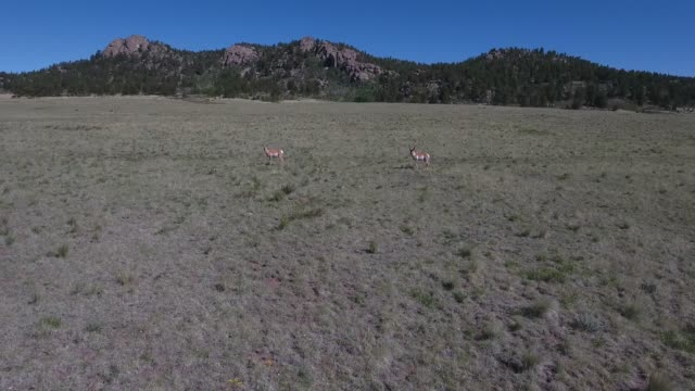 antelope low hovering and track .mov - appaloosa stock videos and b-roll footage