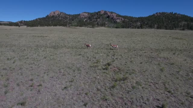 antelope push to behind .mov - appaloosa stock videos and b-roll footage