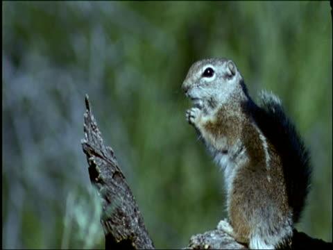 Antelope Squirrel on tree stump, eating, Sonoran desert, USA