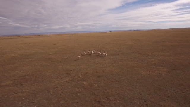 drone antelope tracking back, side to front epic - 4k drone tracking aerial view wildlife herd hunting, deer, elk, bison, hawk, buck, cows, bird, buffalo, directors choice, editors choice, magic hour, sun flare, grassland, epic - bird hunting stock videos & royalty-free footage
