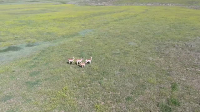 antelope tracking wrap around  reveal 4k drone tracking aerial view wildlife herd hunting, deer, elk, bison, hawk, buck, cows, bird, buffalo, directors choice, editors choice, magic hour, sun flare, grassland, epic - bird hunting stock videos & royalty-free footage