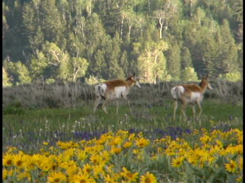 ms, pan, antelope walking in flowering meadow, teton mountains, grand teton national park, wyoming, usa - parco nazionale del grand teton video stock e b–roll