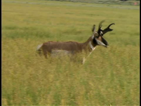 cu, pan, antelope walking in tall grass, usa - 枝角点の映像素材/bロール