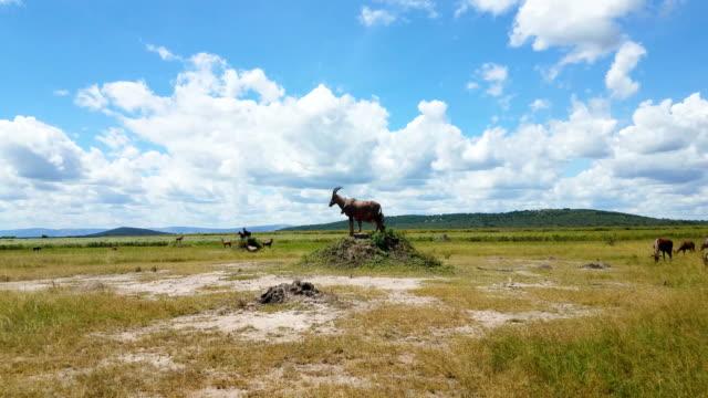 antelopes in a safari, rwanda - plain stock videos & royalty-free footage