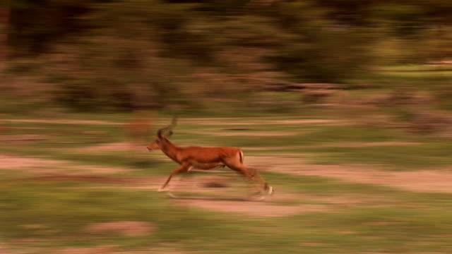 antilopen - antilope stock-videos und b-roll-filmmaterial