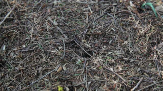 Antheap mit Ameisen