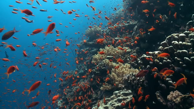 anthia shoal reef edge red sea - underwater diving stock videos & royalty-free footage