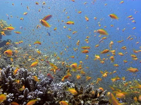 stockvideo's en b-roll-footage met anthias (pseudanthias squamipinnis) and red sea dwarf sweepers (parapriacanthus guentheri). dahab, red sea - vachtpatroon