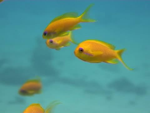 stockvideo's en b-roll-footage met anthias (pseudanthias squamipinnis). dahab, red sea - vachtpatroon