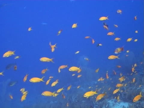 Anthias dancing on edge of reef, blue water provides contrast