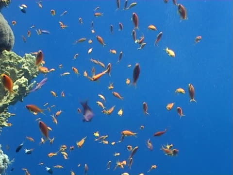 anthias ms, feeding on edge of coral wall, blue water behind - mittelgroße tiergruppe stock-videos und b-roll-filmmaterial
