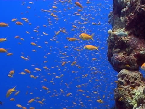 vídeos de stock e filmes b-roll de anthias, ws, feeding on edge of coral wall, blue water behind - menos de 10 segundos