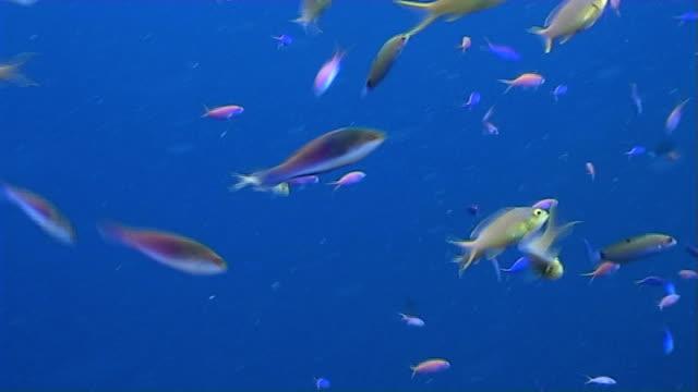 anthias feeding on plankton 3 - mabul island stock videos and b-roll footage