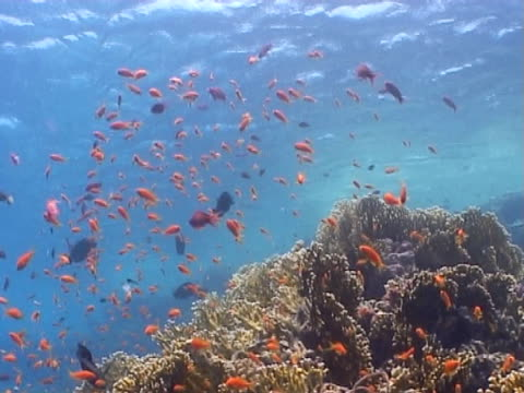 anthias, ws feeding over coral outcrop - mittelgroße tiergruppe stock-videos und b-roll-filmmaterial